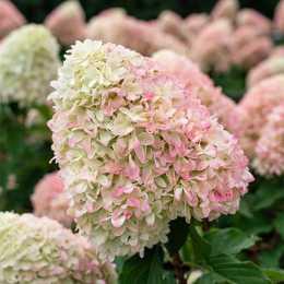 Гортензия метельчатая 'Pink and Rose'® (ОКС)