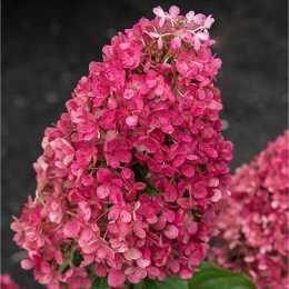 Гортензия метельчатая 'Royal Flower'