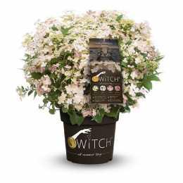 Гортензия метельчатая (S) witch® 'Ophelia'