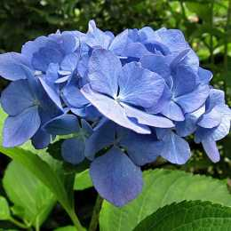 Гортензия крупнолистовая 'Nikko Blue'