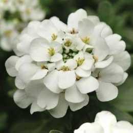 Иберис вечнозеленый 'Alexander's White'