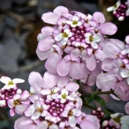 Иберис вечнозеленый 'Pink Ice'