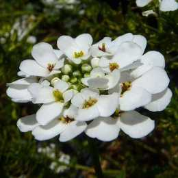 Иберис вечнозеленый 'Snowflake'