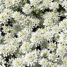 Иберис вечнозеленый 'Snow Cushion'