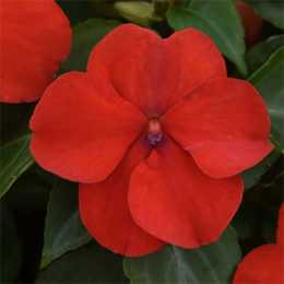 Бальзамин BEACON™ Bright Red
