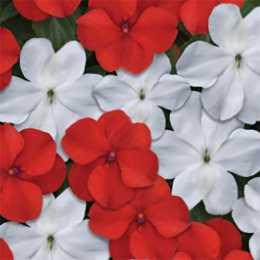 Бальзамин BEACON™ Red White Mix
