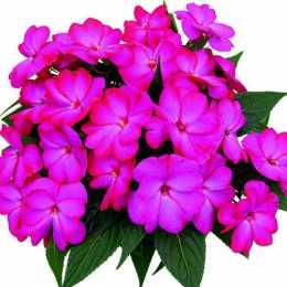 Бальзамин Compact Lilac линия Rokoko