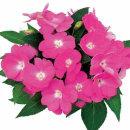 Бальзамин Compact Pink Blush линия Rokoko