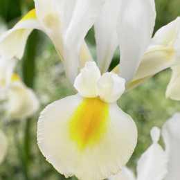 Ирис 'Cream Beauty'
