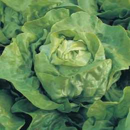 Салат посевной 'Clarion'