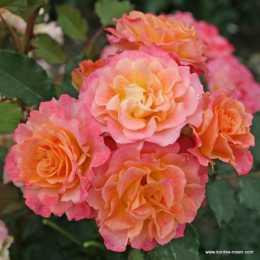 Роза Landlust