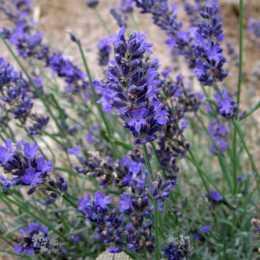 Лаванда узколистная 'Twickle Purple'