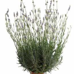 Лаванда гибридная 'Provence'