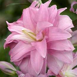 Лилия 'Lotus Breeze'