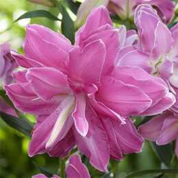 Лилия 'Lotus Wonder'
