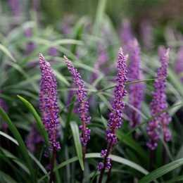 Лириопе мускари 'Royal Purple'