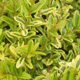 Жимолость блестящая 'Lemon Beauty'