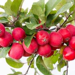 Яблоня 'Appletini'
