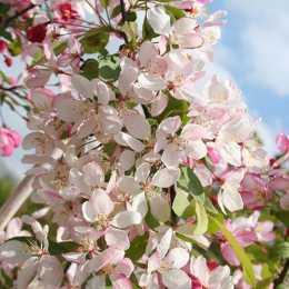 Яблоня обильноцветущая