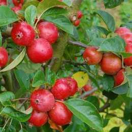 Яблоня 'Rosehip'