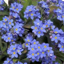 Незабудка 'Sylvia Blue'