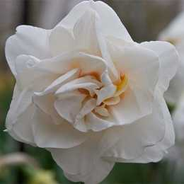 Нарцисс 'Acropolis'