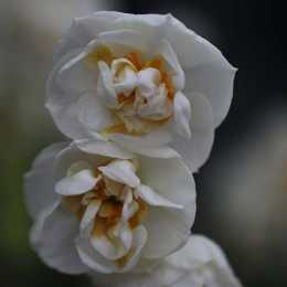 Нарцисс махровый 'Bridal Crown'
