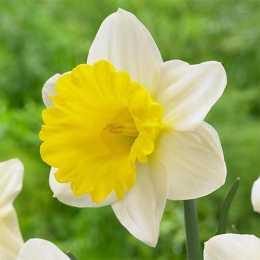 Нарцисс 'Goblet'