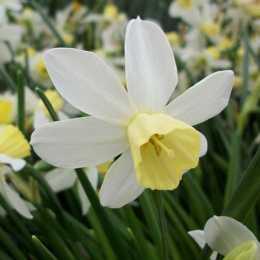 Нарцисс жонкилиевый 'Sailboat'