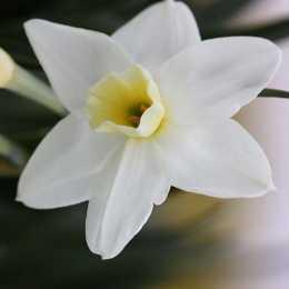 Нарцисс жонкилиевый 'Silver Chimes'