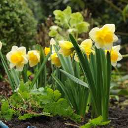 Нарцисс крупнокорончатый 'Salome'