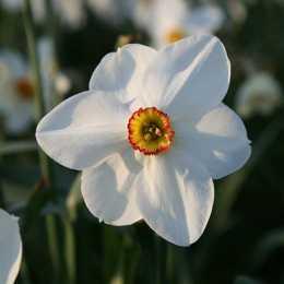Нарцисс поэтитческий 'Actaea'