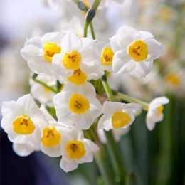 Нарцисс 'Avalanche'