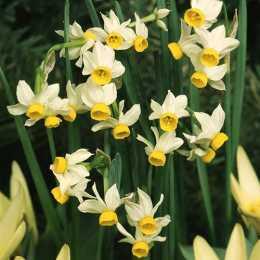 Нарцисс тацетный 'Canaliculatus'
