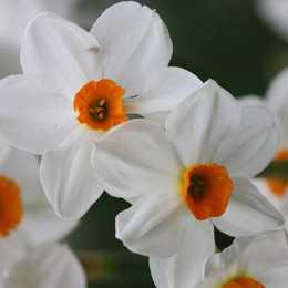 Нарцисс тацетный 'Geranium'