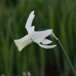 Нарцисс триандрусовый 'Thalia'
