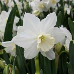 Нарцисс триандрусовый 'Tresamble'