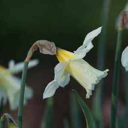 Нарцисс трубчатый 'W.P. Milner'