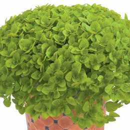 Душица обыкновенная 'Aureum Green'