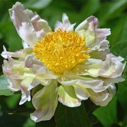 Пион 'Green Lotus'
