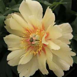 Пион 'Garden Treasure'