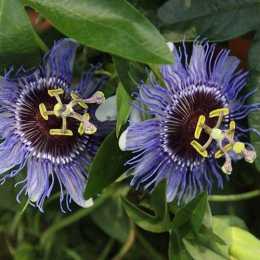 Пассифлора голубая 'Purple Haze'