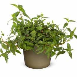 Горец ароматный 'Vietnamese Coriander' GrowFlow™
