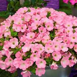 Петуния Bingo® 'Pink Morn'