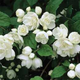 Чубушник 'Bouquet Blanc'