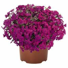 Флокс Spring® Hot Pink (D12)