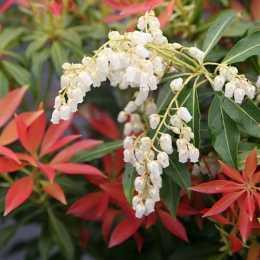 Пиерис японский 'Forest Flame'