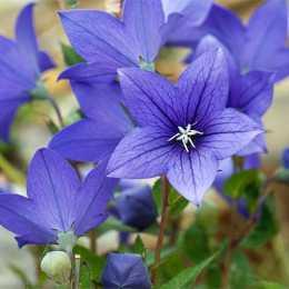 Платикодон крупноцветковый 'Astra Blue'
