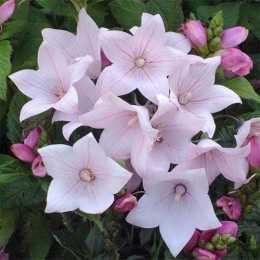 Платикодон крупноцветковый 'Astra Rose'