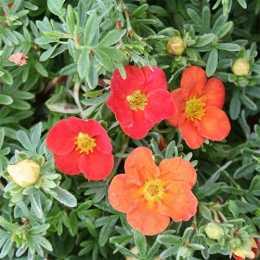 Лапчатка кустарниковая 'Marian Red Robin'